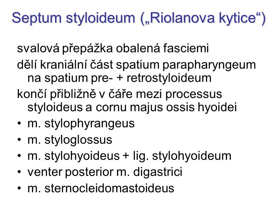 "Septum styloideum (""Riolanova kytice )"