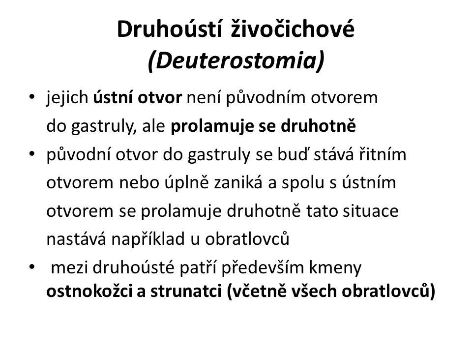 Druhoústí živočichové (Deuterostomia)