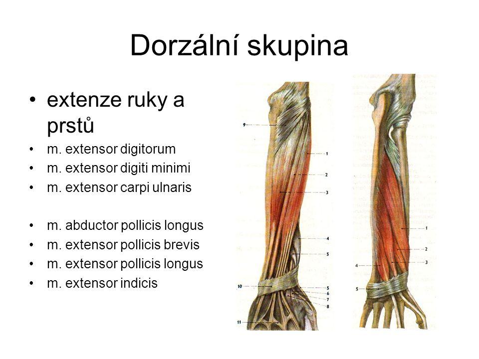 Dorzální skupina extenze ruky a prstů m. extensor digitorum