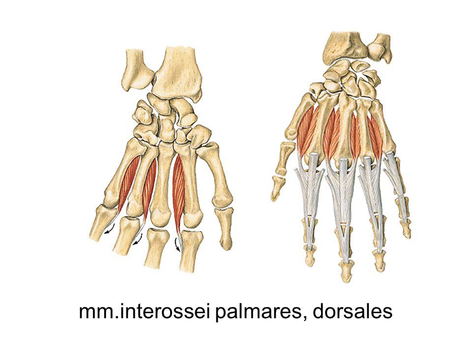 mm.interossei palmares, dorsales