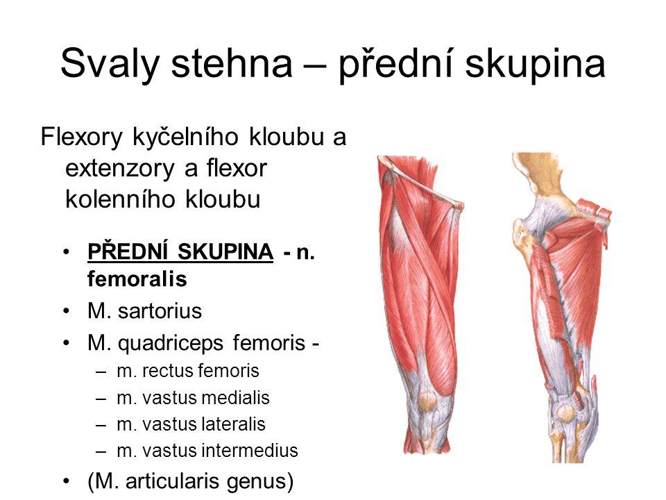 Svaly stehna – přední skupina