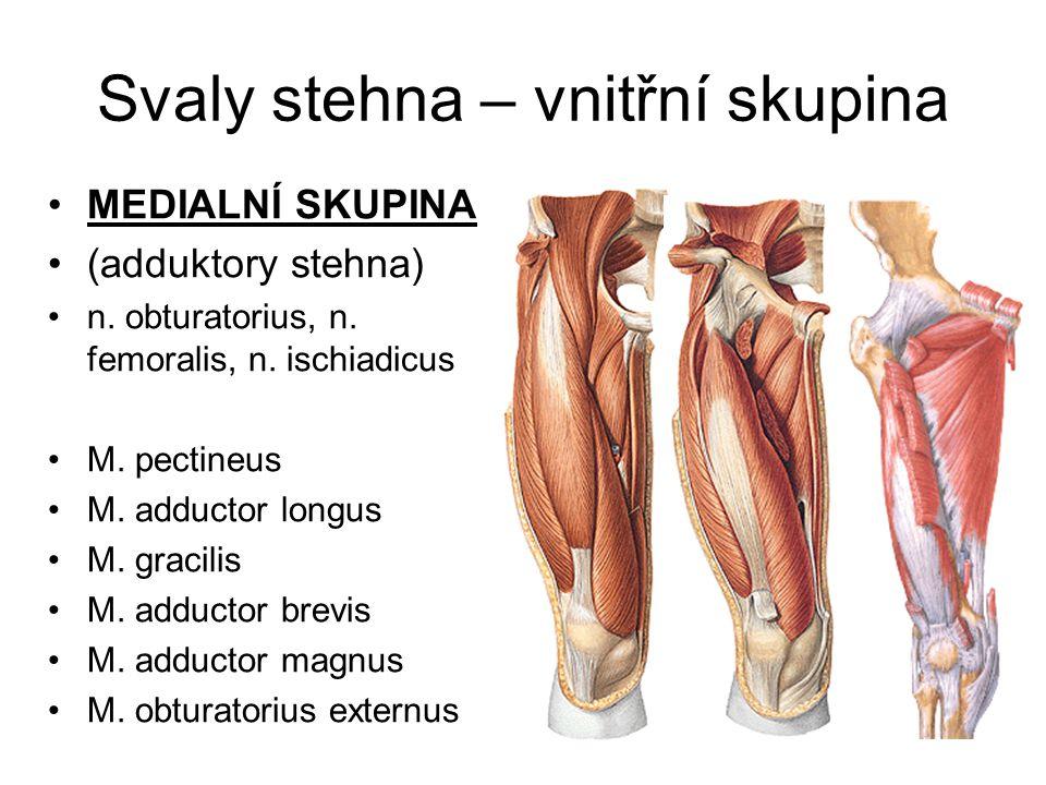 Svaly stehna – vnitřní skupina