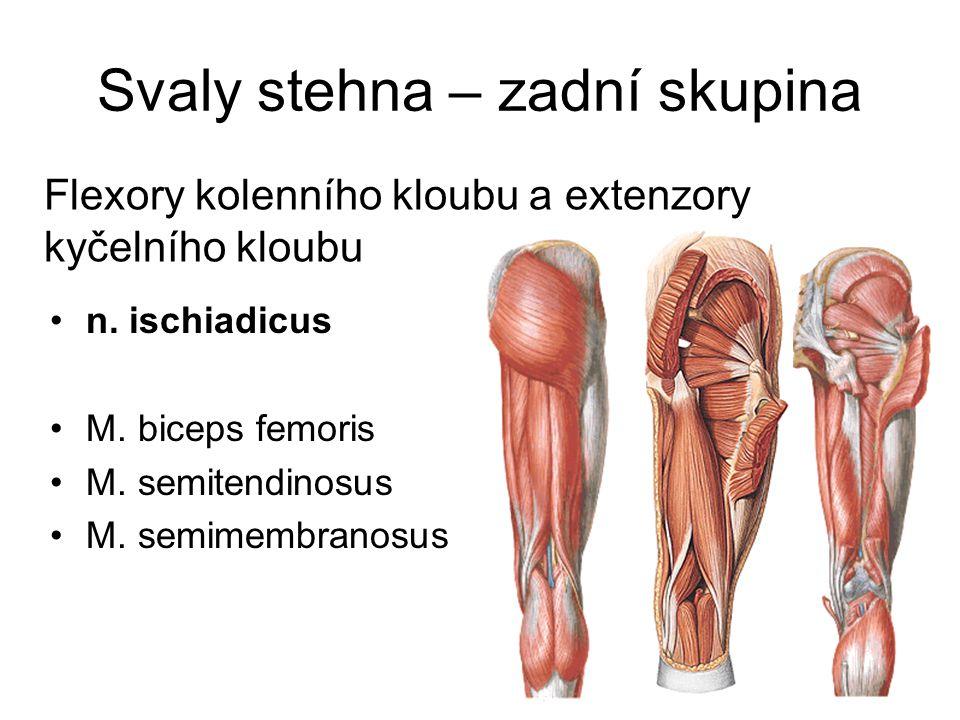 Svaly stehna – zadní skupina