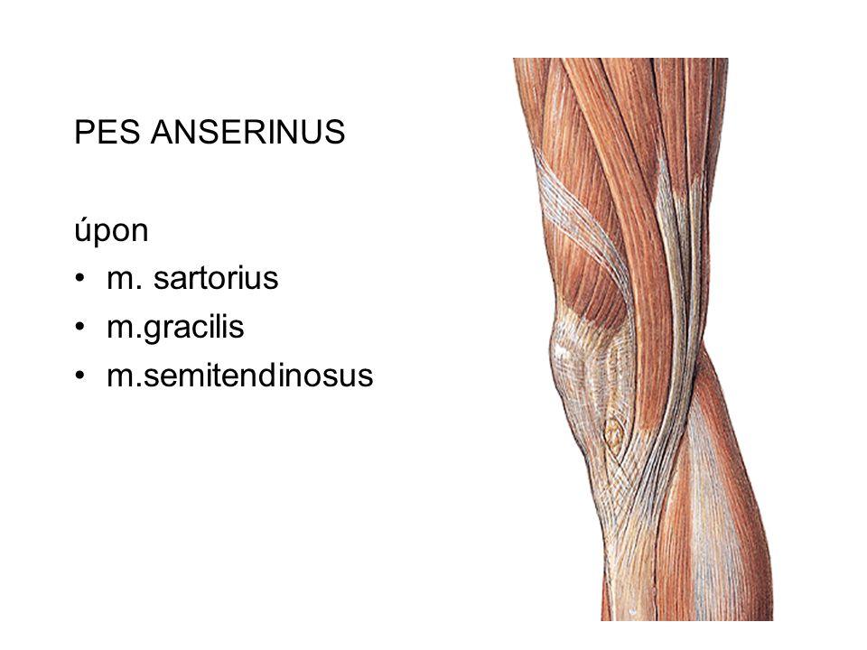 PES ANSERINUS úpon m. sartorius m.gracilis m.semitendinosus