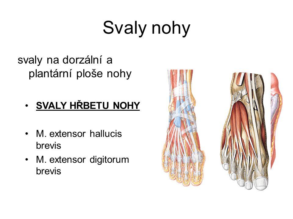 Svaly nohy svaly na dorzální a plantární ploše nohy SVALY HŘBETU NOHY