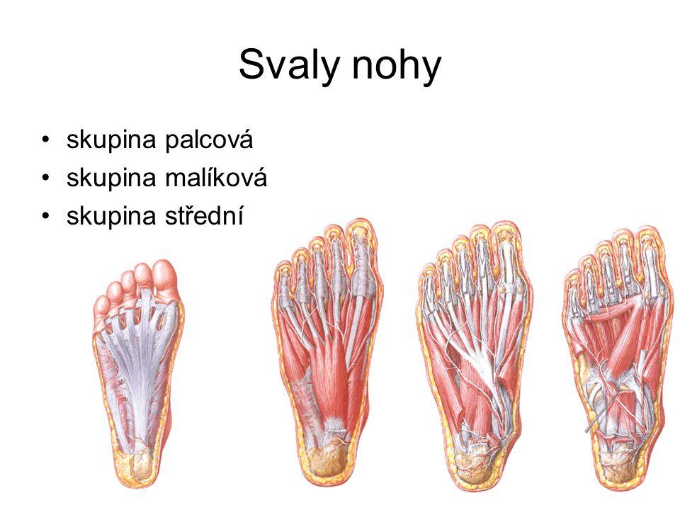 Svaly nohy skupina palcová skupina malíková skupina střední