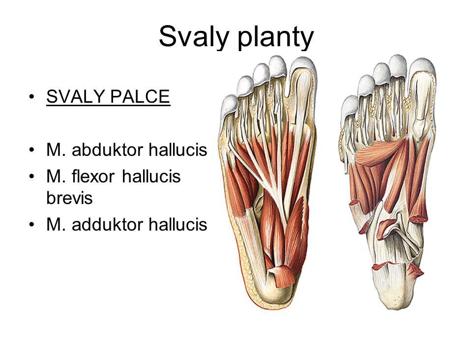 Svaly planty SVALY PALCE M. abduktor hallucis