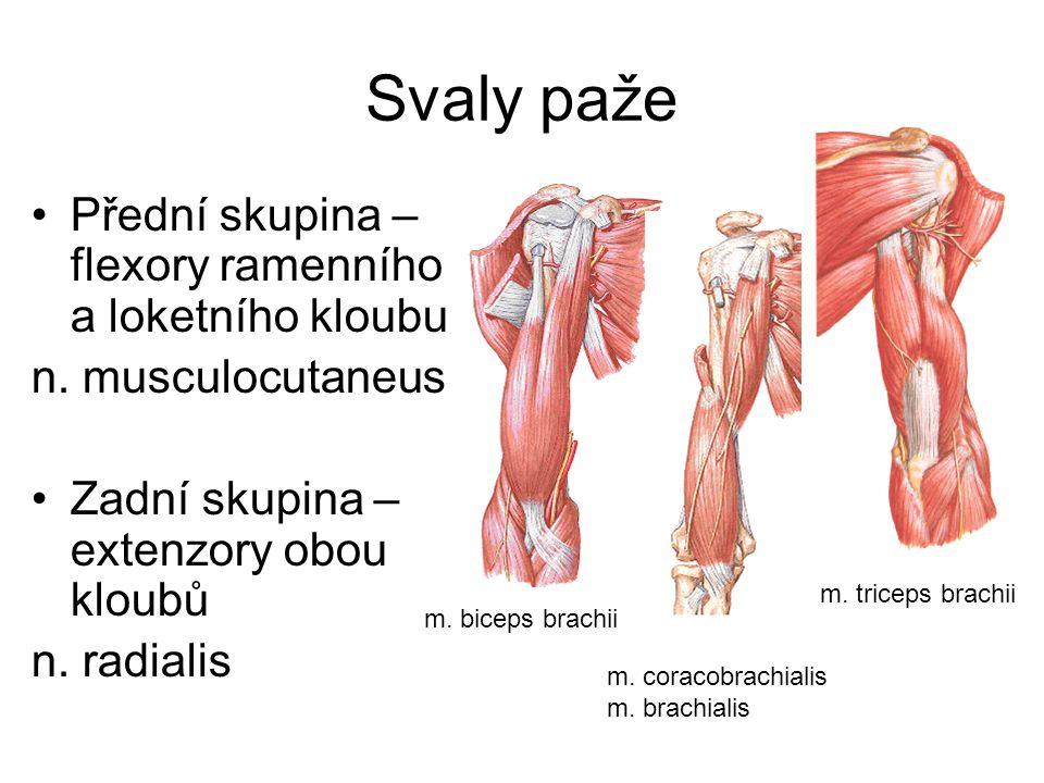 Svaly paže Přední skupina – flexory ramenního a loketního kloubu
