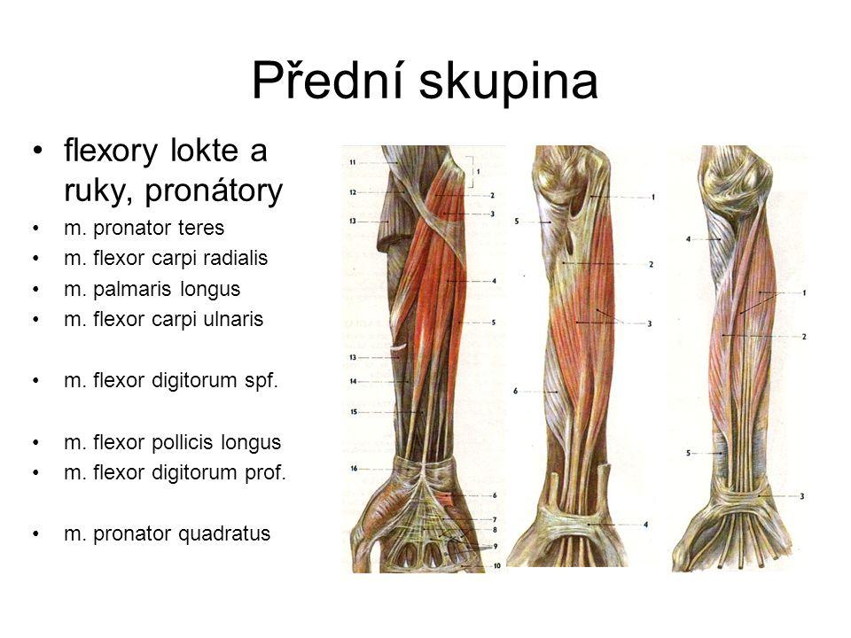 Přední skupina flexory lokte a ruky, pronátory m. pronator teres