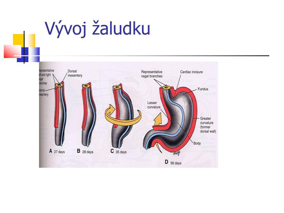 Vývoj žaludku
