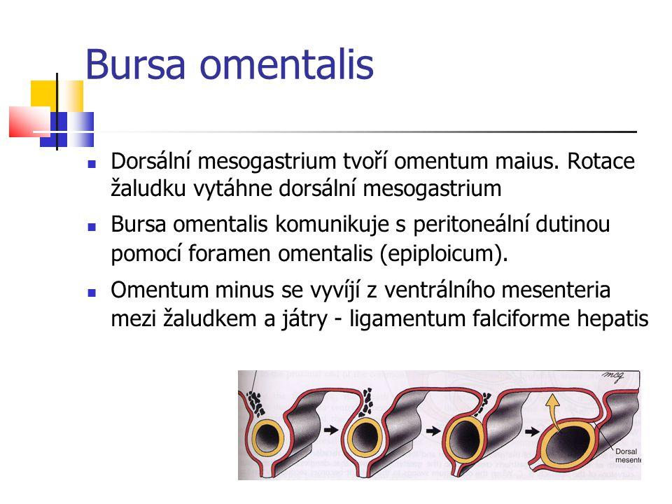 Bursa omentalis Dorsální mesogastrium tvoří omentum maius. Rotace žaludku vytáhne dorsální mesogastrium.
