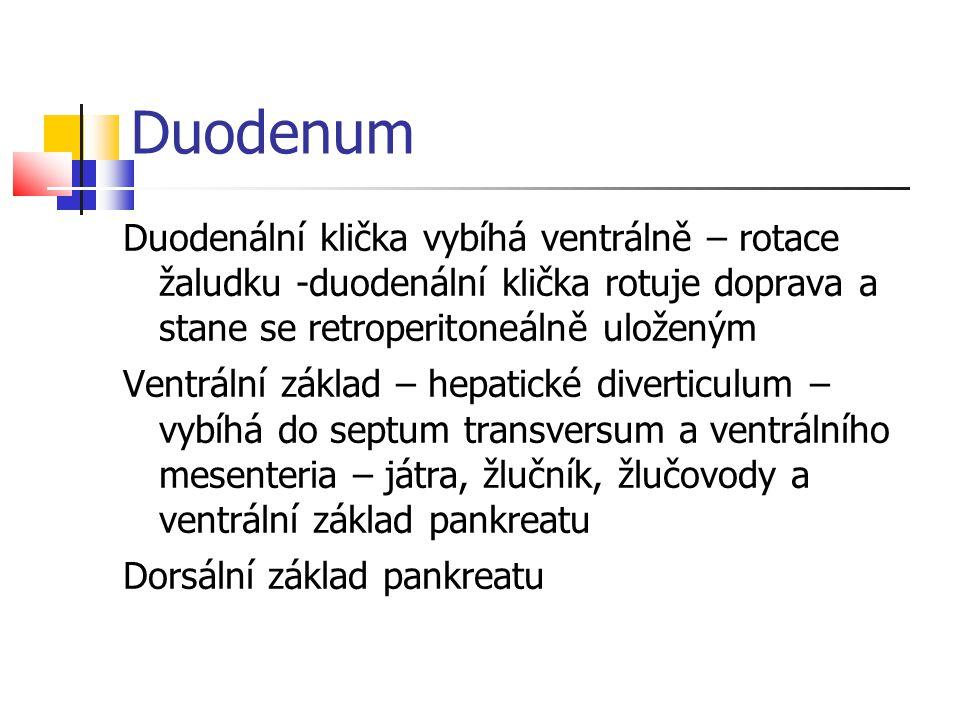 Duodenum Duodenální klička vybíhá ventrálně – rotace žaludku -duodenální klička rotuje doprava a stane se retroperitoneálně uloženým.