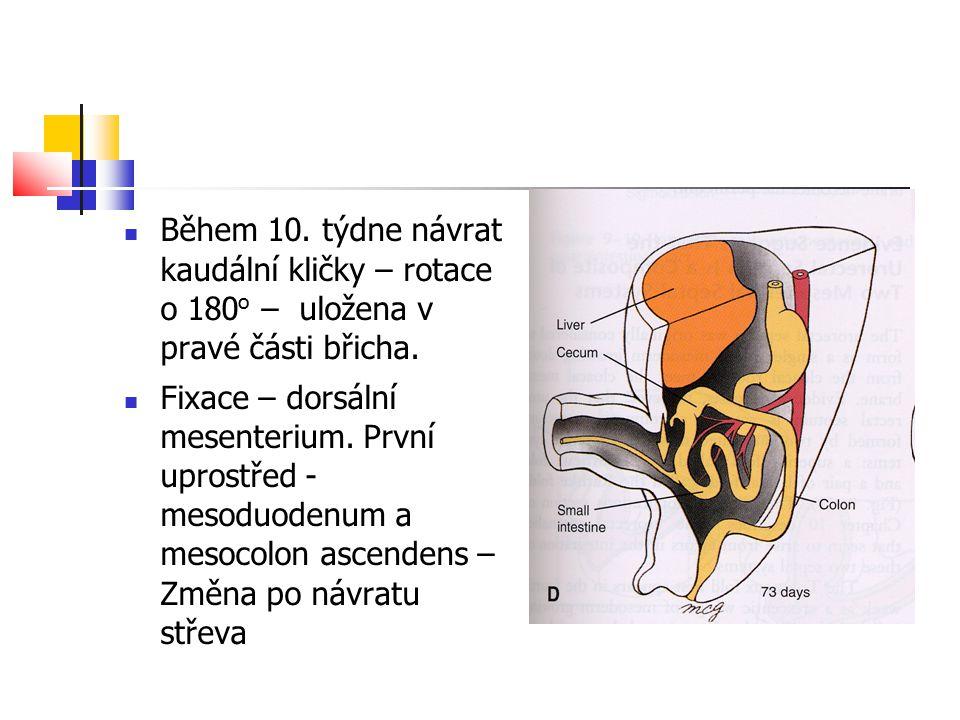 Během 10. týdne návrat kaudální kličky – rotace o 180o – uložena v pravé části břicha.