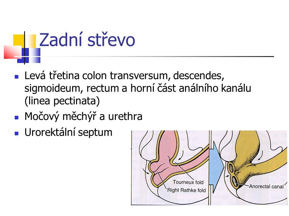 Zadní střevo Levá třetina colon transversum, descendes, sigmoideum, rectum a horní část análního kanálu (linea pectinata)