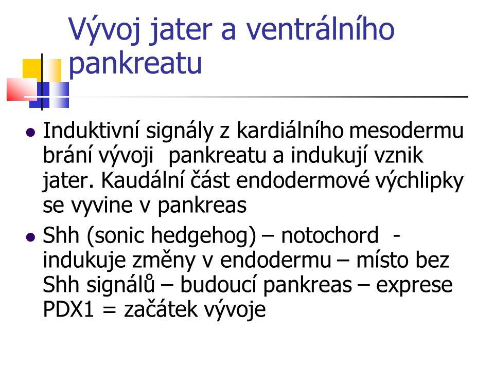 Vývoj jater a ventrálního pankreatu