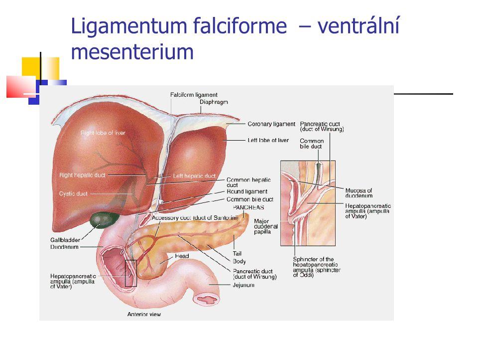 Ligamentum falciforme – ventrální mesenterium