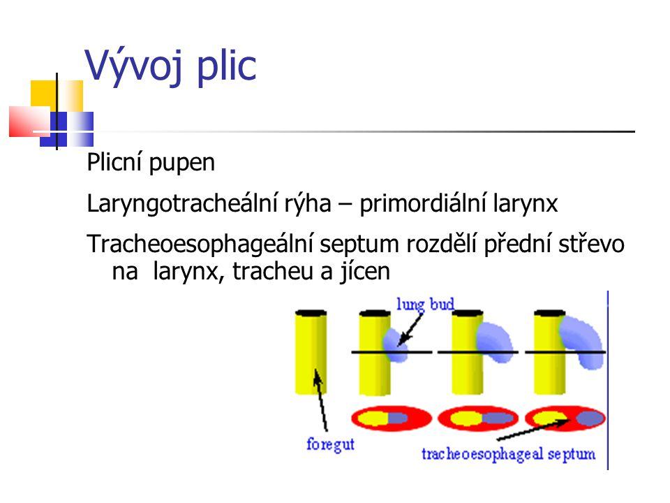 Vývoj plic Plicní pupen Laryngotracheální rýha – primordiální larynx