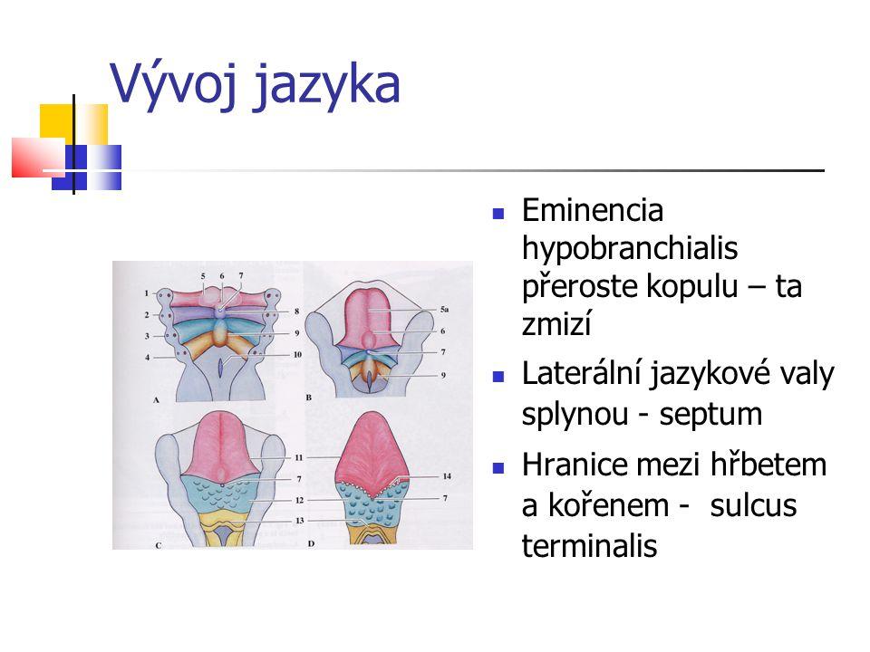 Vývoj jazyka Eminencia hypobranchialis přeroste kopulu – ta zmizí