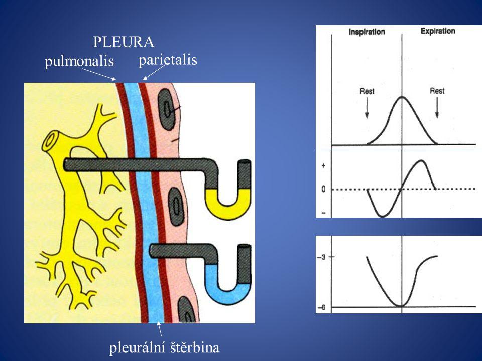 PLEURA pulmonalis parietalis pleurální štěrbina