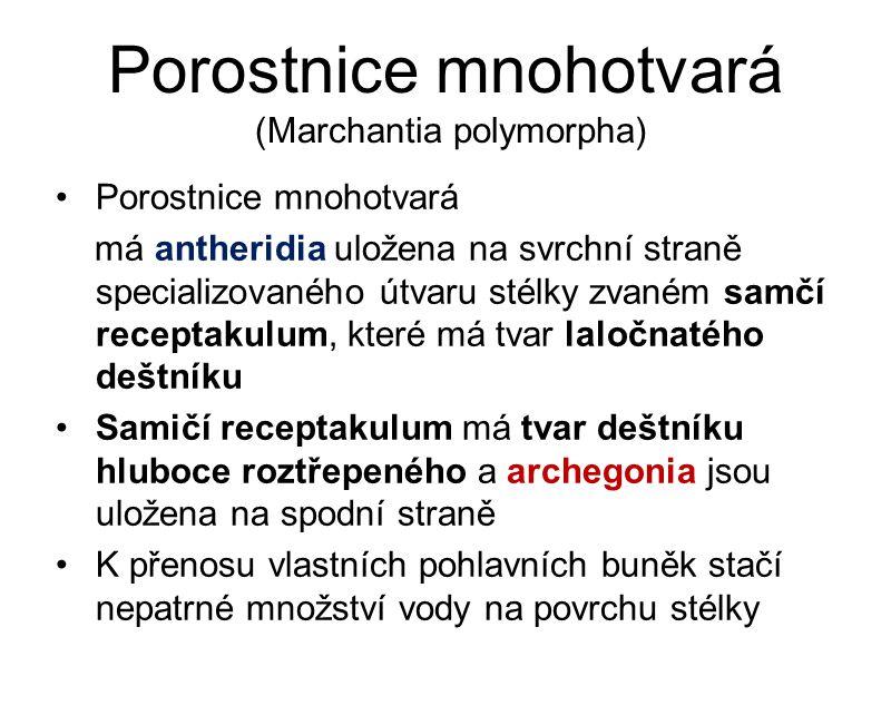 Porostnice mnohotvará (Marchantia polymorpha)