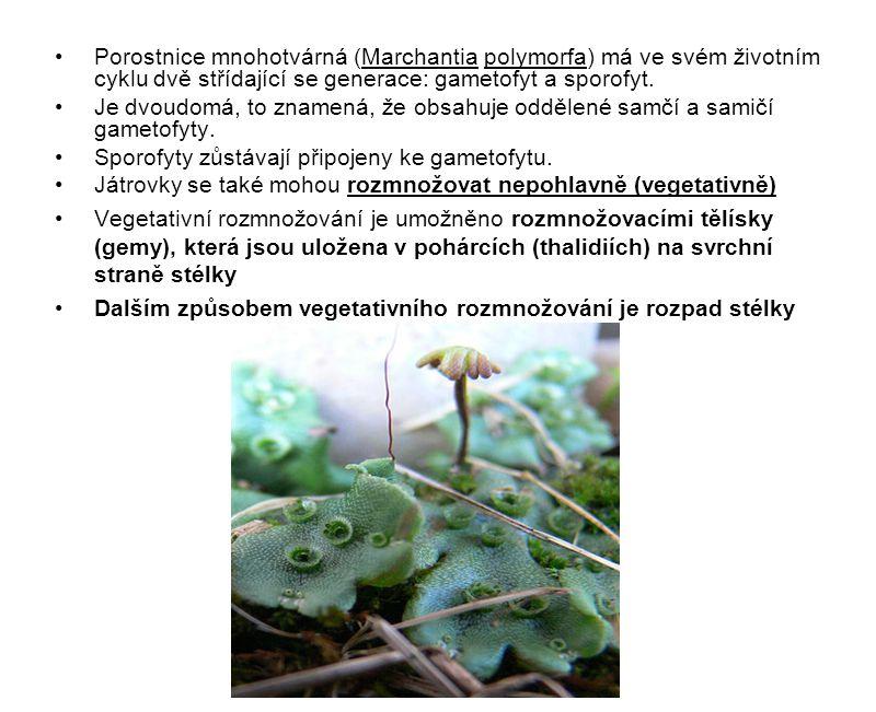 Porostnice mnohotvárná (Marchantia polymorfa) má ve svém životním cyklu dvě střídající se generace: gametofyt a sporofyt.