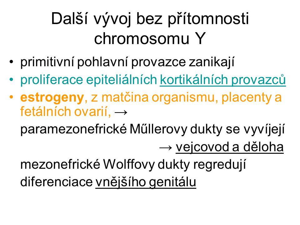 Další vývoj bez přítomnosti chromosomu Y