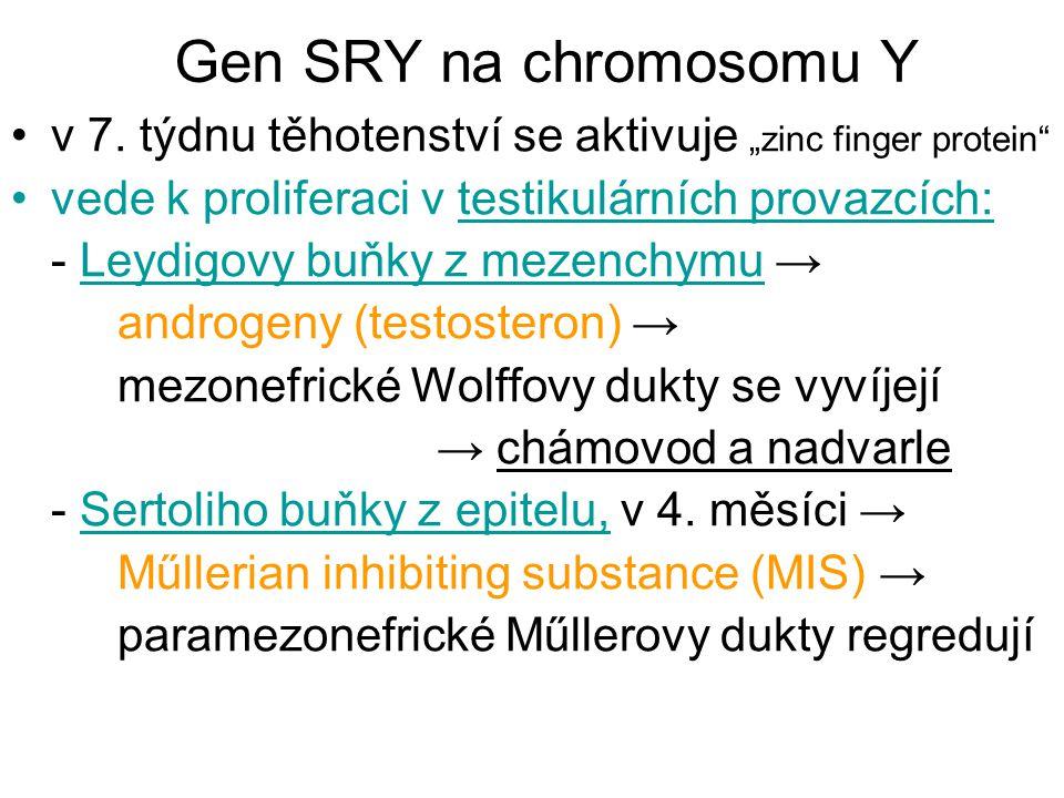 """Gen SRY na chromosomu Y v 7. týdnu těhotenství se aktivuje """"zinc finger protein vede k proliferaci v testikulárních provazcích:"""