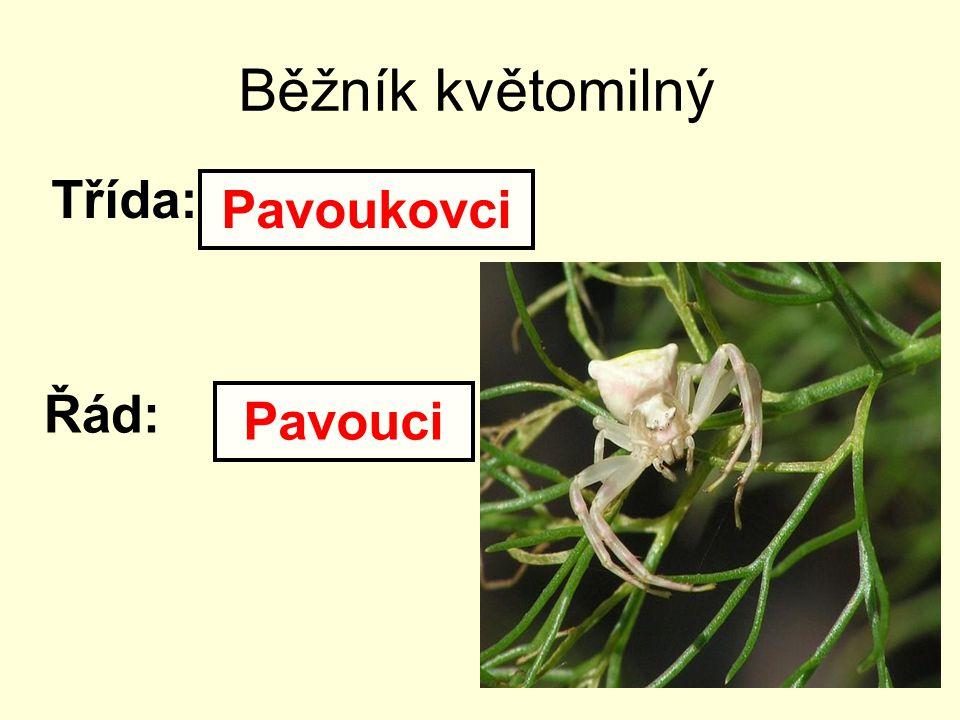 Běžník květomilný Třída: Pavoukovci Řád: Pavouci