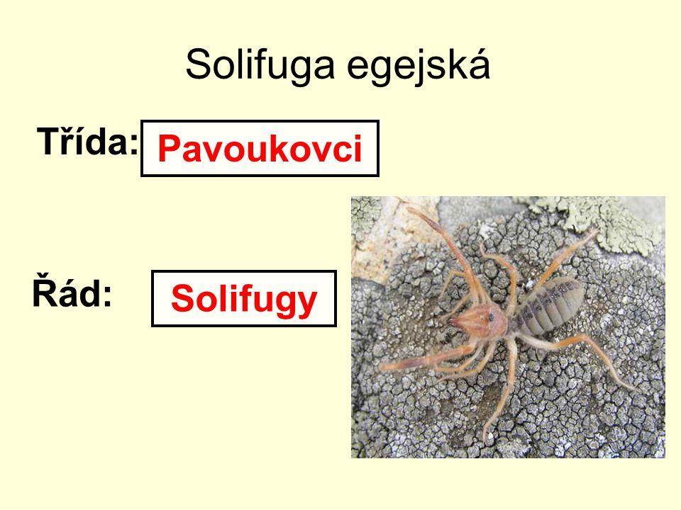 Solifuga egejská Třída: Pavoukovci Řád: Solifugy