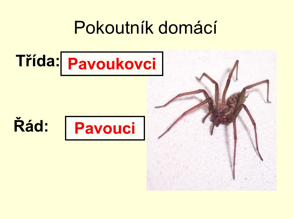 Pokoutník domácí Třída: Pavoukovci Řád: Pavouci