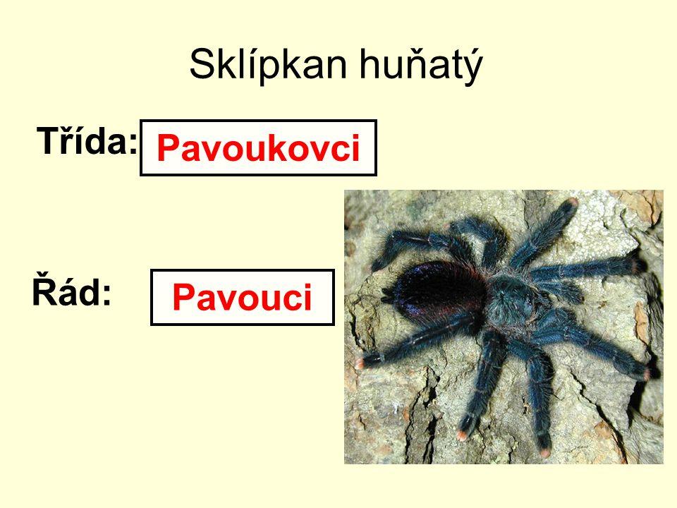 Sklípkan huňatý Třída: Pavoukovci Řád: Pavouci