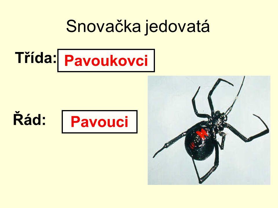 Snovačka jedovatá Třída: Pavoukovci Řád: Pavouci