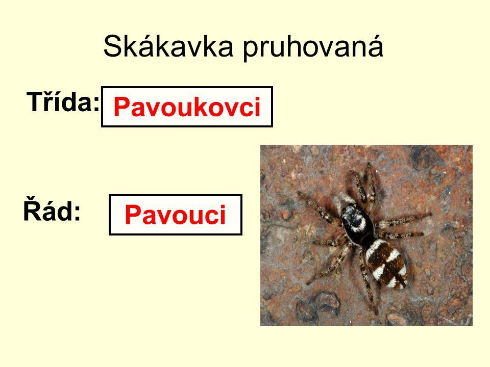 Skákavka pruhovaná Třída: Pavoukovci Řád: Pavouci
