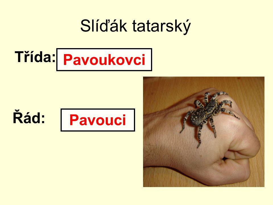 Slíďák tatarský Třída: Pavoukovci Řád: Pavouci