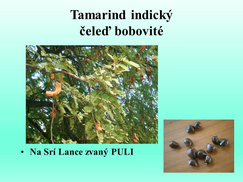 Tamarind indický čeleď bobovité