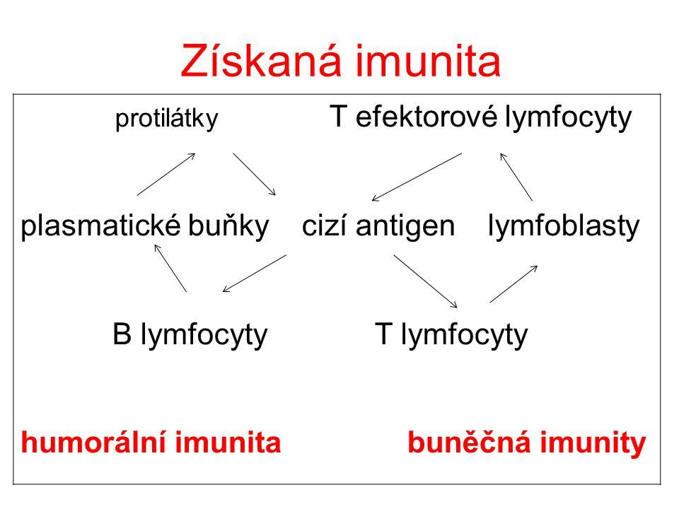 Získaná imunita plasmatické buňky cizí antigen lymfoblasty