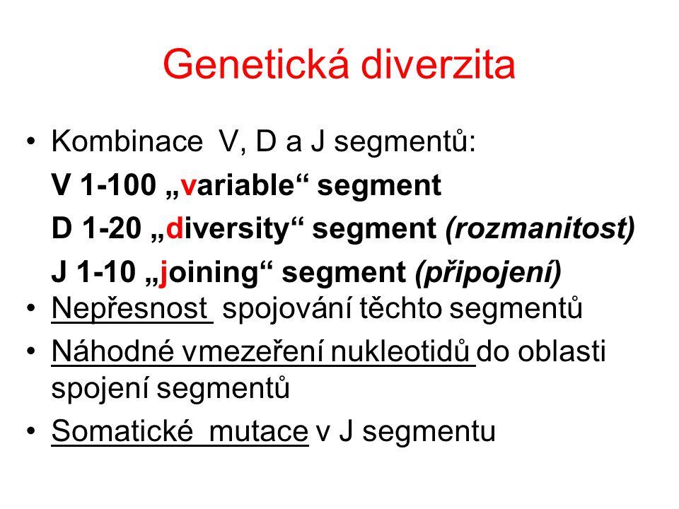 Genetická diverzita Kombinace V, D a J segmentů: