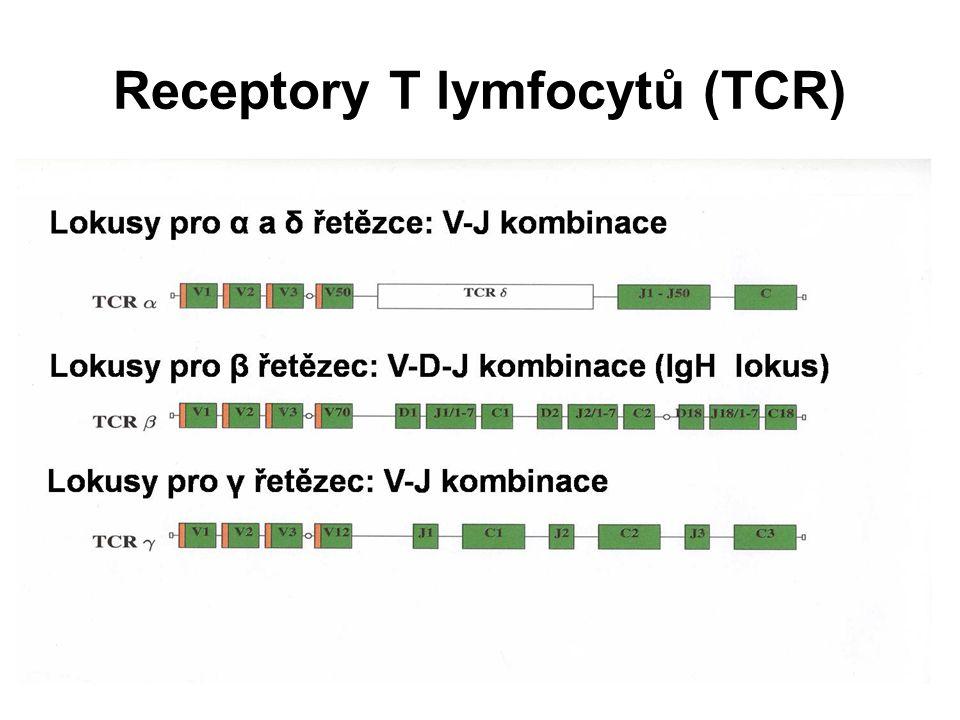 Receptory T lymfocytů (TCR)