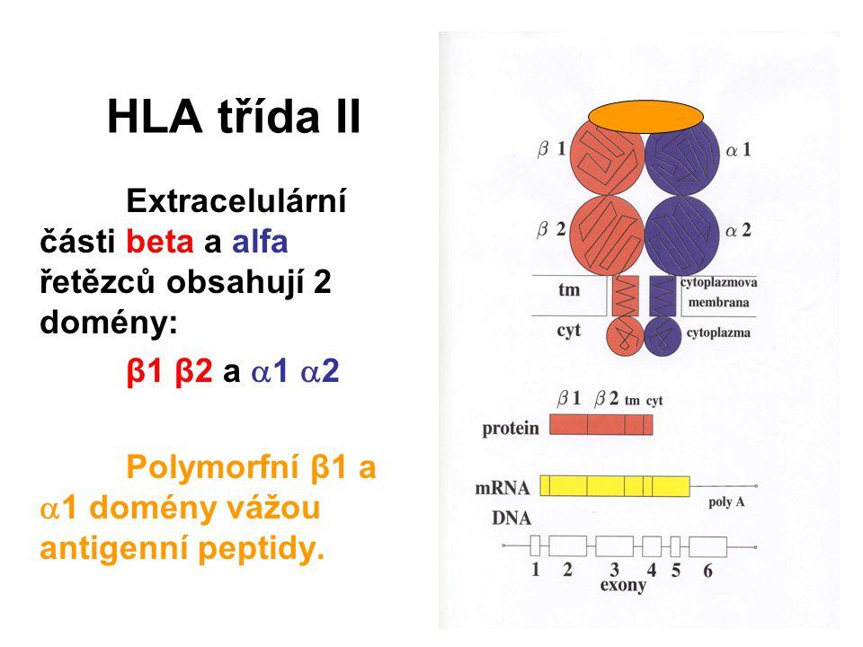 HLA třída II Extracelulární části beta a alfa řetězců obsahují 2 domény: β1 β2 a 1 2.