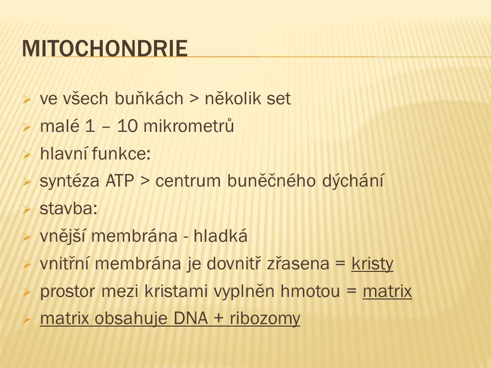 MITOCHONDRIE ve všech buňkách > několik set malé 1 – 10 mikrometrů