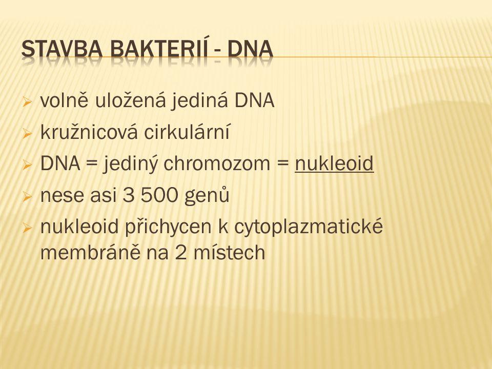 stavba bakterií - DNA volně uložená jediná DNA kružnicová cirkulární