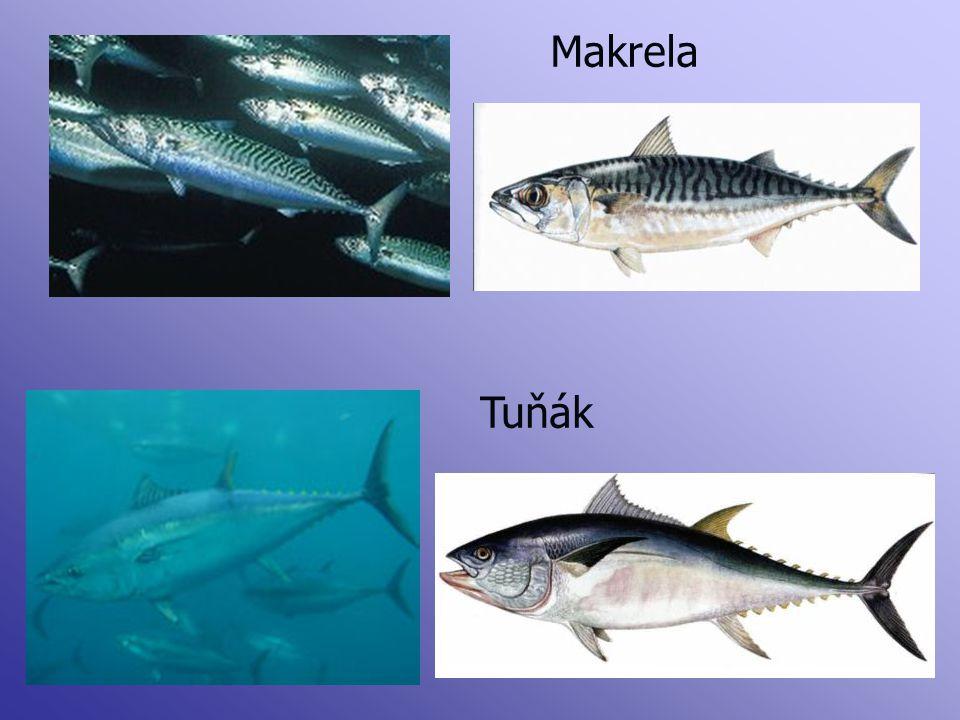 Makrela Tuňák
