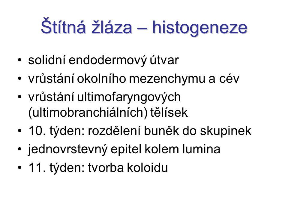 Štítná žláza – histogeneze