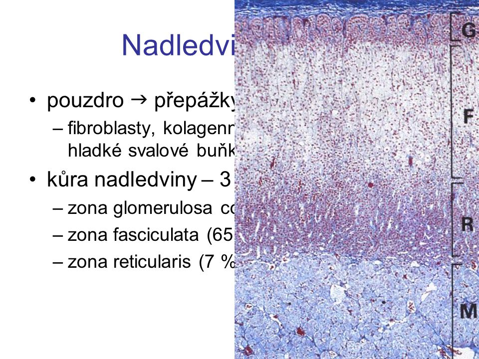 Nadledvina – kůra pouzdro  přepážky kůra nadledviny – 3 vrstvy