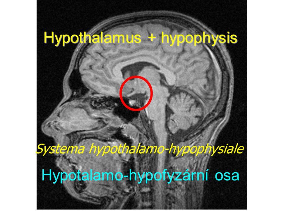 Hypothalamus + hypophysis
