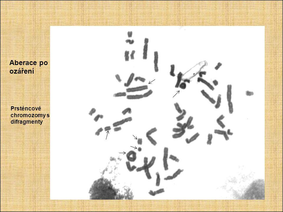 Aberace po ozáření Prsténcové chromozomy s difragmenty