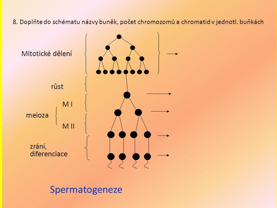 Spermatogeneze Mitotické dělení růst M I meioza M II