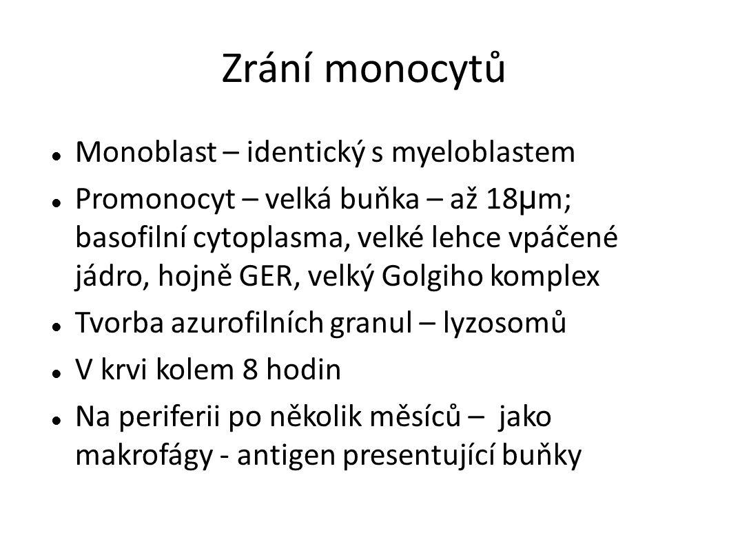 Zrání monocytů Monoblast – identický s myeloblastem