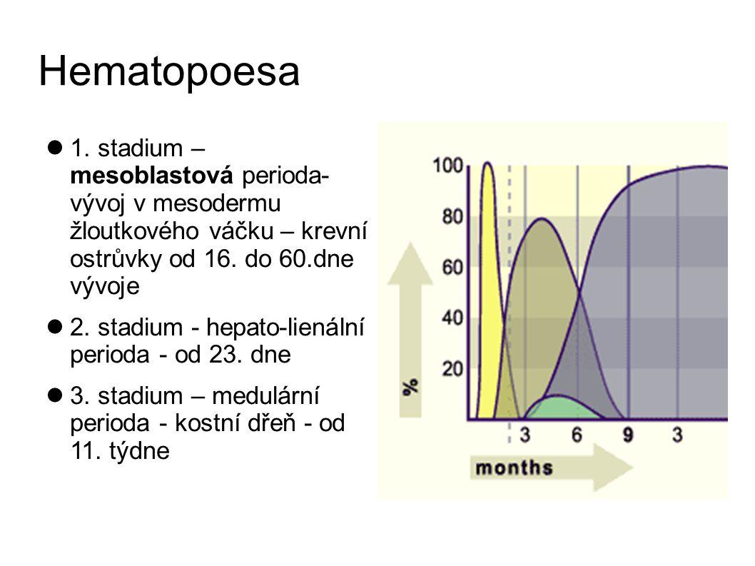 Hematopoesa 1. stadium – mesoblastová perioda- vývoj v mesodermu žloutkového váčku – krevní ostrůvky od 16. do 60.dne vývoje.