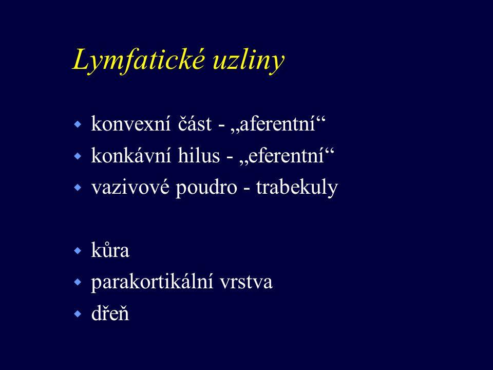 """Lymfatické uzliny konvexní část - """"aferentní"""